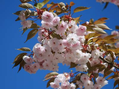 A sign of spring: cherry blossoms! Photo by John Hannah.