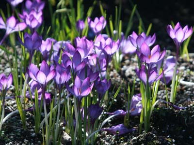 Spring sunshine + crocuses = happiness. Photo by John Hannah.