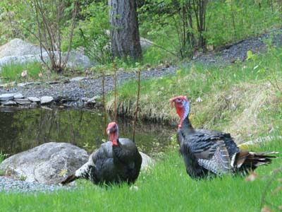 A sign of spring in the BC backcountry: when pet turkeys from neighbouring properties stroll over to your garden--just because they can. Photo by John Hannah.